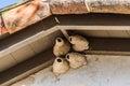 Mission san juan capistrano swallows nests at the old Stock Photo