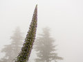 Mist envelop two pine trees with Echium flower Royalty Free Stock Photo