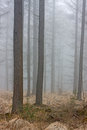 Mist in a larch forest Royalty Free Stock Photos