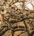 Mistle Thrush on branches Stock Image