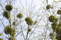 Mistletoe group of plant parasitic on trees Stock Image