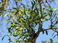 Mistletoe on a poplar branch Royalty Free Stock Images