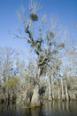 Mistletoe in Swamp Royalty Free Stock Photo