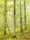 Misty beech forest in autumn Stock Photo