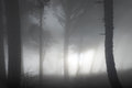 Misty forest mystery with big dark pine trees Royalty Free Stock Photography