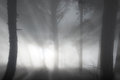 Misty forest mystery with big dark pine trees Royalty Free Stock Photos