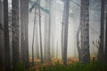Misty forest mystery with green pine trees Royalty Free Stock Image