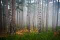 Misty forest mystery with green pine trees Royalty Free Stock Images