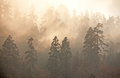 Misty forest sunrise majesty of nature at himalayan pine trees and rhododendrons Stock Photos