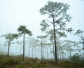 Misty pines pine trees in the forest Royalty Free Stock Image