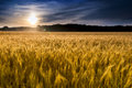 Misty Sunrise Over Golden Wheat Field in Central K Royalty Free Stock Photo