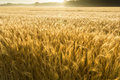 Misty sunrise over golden wheat gebied in centraal kansas Stock Foto