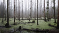 Misty swamp in the forest Royalty Free Stock Photo