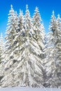 Misty winter fir forest view Royalty Free Stock Photo
