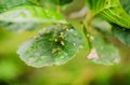 Mite galls on alder leaves Royalty Free Stock Photo