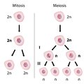 Mitosis versus meiosis Royalty Free Stock Photography