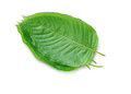 Mitragyna speciosa Korth. Located in the family Rubiaceae.  The leaves eaten as a drug It is a medicinal plant and is addictive. Royalty Free Stock Photo