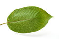 Mitragyna speciosa kratom leaf on white background Stock Images