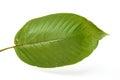 Mitragyna speciosa kratom leaf on white background Stock Images