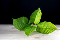 Mitragyna speciosa or Kratom leaves Royalty Free Stock Photo