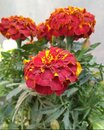 Mix Colour Mariglod Flower It Is Also Called Genda Fool