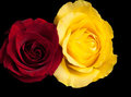 Mix of yellow and red rosed Royalty Free Stock Photo