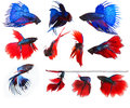 Mixed of blue and red siamese fighting fish betta full body unde under water isolated white background Royalty Free Stock Photo