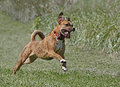 Mixed breed boxer rhodesian ridgeback mixed breed dog running while playing in a field Stock Images