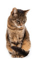 Mixed breed cat months old sitting in front of white background Royalty Free Stock Photo