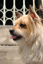 Mixed breed cute yorkshire terrier dog face side of young Royalty Free Stock Photos