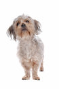 Mixed breed dog Royalty Free Stock Image
