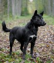 Mixed breed dog in the autumn forest sdog sitting on leaves Stock Photo