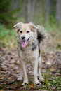 Mixed breed dog in the autumn forest sdog sitting on leaves Royalty Free Stock Photography