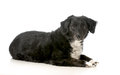 Mixed breed dog laying down looking at viewer isolated on white background Royalty Free Stock Photos