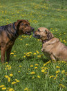 Mixed breed dogs a boxer shepherd and puggle play in a grassy meadow Royalty Free Stock Images