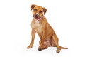 Mixed Breed Female Large Dog Royalty Free Stock Photo
