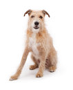 Mixed Breed Large Scruffy Dog Stock Image