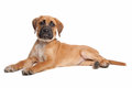 Mixed breed puppy Royalty Free Stock Images
