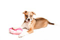 Mixed breed puppy loves toys you Royalty Free Stock Photos