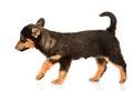 Mixed Breed Puppy Walking. Iso...