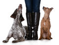 Mixed breed vs purebreed woman standing with dog on one side and purebred dog on the other isolated on white background german Royalty Free Stock Photos