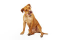 Mixed Breed Yellow Dog Royalty Free Stock Photo