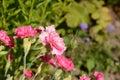 Mixed bright pink carnations Royalty Free Stock Photo
