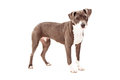 Mixed bully breed dog a pit bull standing against a white backdrop Royalty Free Stock Photo