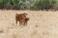 Mixed cow with his calf in the field Royalty Free Stock Photography