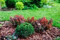 Mixed garden border with berberis thunbergii Admiration and Picea Mariana Nana Royalty Free Stock Photo