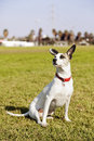 Mixed jack russel sitting grass urban park Royalty Free Stock Photography