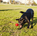 A mixed labrador dog caught in the middle of catching a red rubber chew toy on a sunny day at an urban park Stock Photos