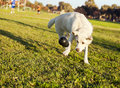 A mixed labrador female dog caught in the middle of fetching a chew toy at the park Royalty Free Stock Image