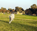 A mixed labrador female dog caught in the middle of fetching a chew toy at the park Stock Images